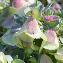 Pimelea Physodes Very Rare 5 Seeds * Spectacular Purple Flower Qualup Bell